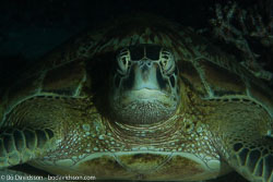 BD-141015-Komodo-5059-Eretmochelys-imbricata-(Linnaeus.-1766)-[Hawksbill-turtle.-Karettsköldpadda].jpg